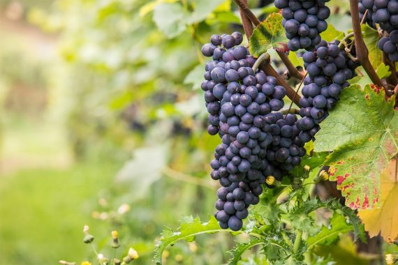 Лучшие виноделы